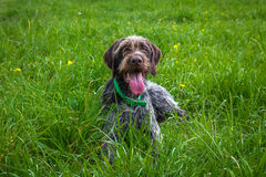 Hunting dog lieing on gras Royalty Free Stock Photos