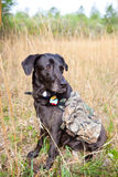 Hunting dog looking away. Hunting dog looking  into grass field, wearing vest Royalty Free Stock Photography