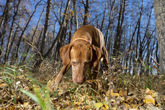 Hunting dog with nose on the ground in autumn forest Royalty Free Stock Photography
