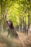 Hunter`s dog in the woods stock images