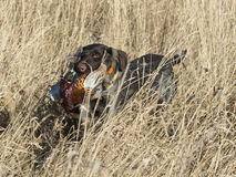 A Hunting Dog with a Pheasant. A Gun dog with a Rooster Pheasant in North Dakota stock photo