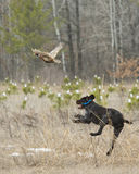 A Hunting Dog after a Pheasant Royalty Free Stock Images