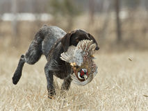 Hunting Dog with a Pheasant Royalty Free Stock Images