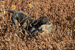 Hunting Dog with a Pheasant royalty free stock photos