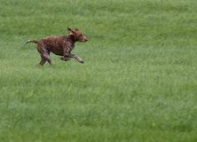 Hunting with a dog Stock Photography