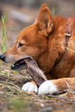 Hunting dog playing with stick Stock Images