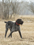 Hunting Dog on Point Royalty Free Stock Images