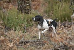 Hunting dog, pointer breed, pointing stock photography