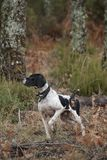 Hunting dog, pointer breed, pointing stock photo