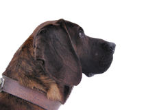 Hunting dog portrait Stock Photo