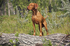 Hunting dog posing outddors Stock Photo