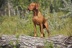 Hunting dog posing outddors Stock Photo