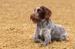 Hunting dog rest having Stock Image