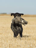 Hunting Dog Retrieving a Duck. A Hunting Dog with a Drake Pintail in a wheat field Royalty Free Stock Photo