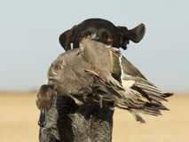 Hunting Dog Retrieving a Duck Royalty Free Stock Photos