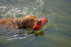 Hunting dog retrieving dummy from water Stock Photos