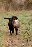 Hunting dog retrieving a pheasant Stock Photo