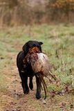Hunting dog retrieving a pheasant Stock Photos