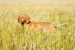 Hunting dog in the ripening grain. Hot summer day. Hungarian Pointer Viszla hunting. Electric dog collar Royalty Free Stock Images