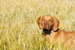 Hunting dog in the ripening grain. Hot summer day. Hungarian Pointer Viszla hunting. Stock Photo