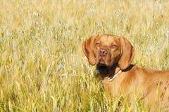 Hunting dog in the ripening grain. Hot summer day. Hungarian Pointer Viszla hunting. Stock Photo