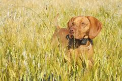 Hunting dog in the ripening grain. Hot summer day. Hungarian Pointer Viszla hunting. Electric dog collar Stock Photography