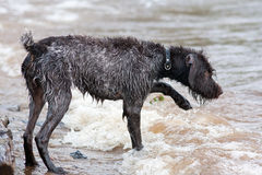 Hunting dog on the river. Hunting dog german wirehaired pointer on the river Royalty Free Stock Images