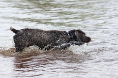 Hunting dog on the river ready to swim. Hunting dog german wirehaired pointer on the river ready to swim Royalty Free Stock Images