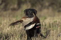 A hunting dog with a Rooster Pheasant. In North Dakota on an October day stock images