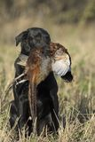 A hunting dog with a Rooster Pheasant royalty free stock photography
