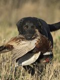 A hunting dog with a Rooster Pheasant stock image