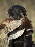 A hunting dog with a Rooster Pheasant royalty free stock images