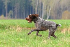 Hunting dog running. Hunting dog Czech pointer in spring nature Stock Photos