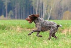 Hunting dog running Stock Photos