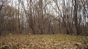 Hunting dog runs along autumn leaves in park. Slow motion.  stock video footage