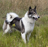 Hunting dog Siberian Laika outdoors saw prey royalty free stock image