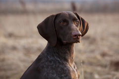 Hunting dog sits and stares ahead. Pointer hunting dog sits and stares ahead Royalty Free Stock Photography