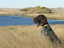 Hunting Dog. A hunting dog sitting on the native prairie in North Dakota Stock Image