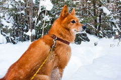 Hunting dog sitting in the winter forest Royalty Free Stock Photography