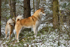 Hunting dog on snow Stock Images