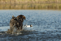 Hunting Dog. Splashing in the water to retrieve a duck stock image