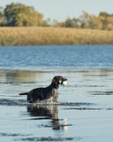 Hunting Dog Stock Photography