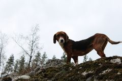 Hunting dog standing on a rock stock photo