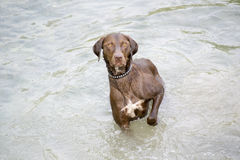 Hunting dog standing in water Royalty Free Stock Photos