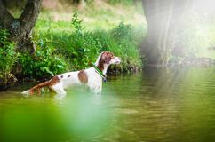 The hunting dog standing in the water, swim, splash, play Royalty Free Stock Photos