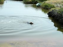 A hunting dog is swimming holding an object in his teeth for aportirovka. The process of training. stock photo