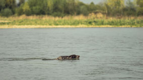 Hunting dog swims across the river Royalty Free Stock Images