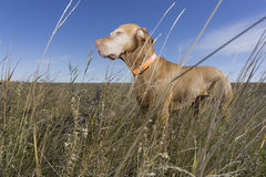 Hunting dog in tall grass Stock Images