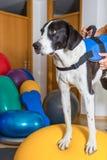 Hunting dog royalty free stock photography