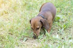 A hunting dog walks along the grass dachshund, Basset. Hunting dog dachshund, Basset walks along the grass in the street in the park stock photo